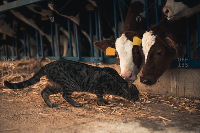 Cute cat walking at corral with small calves on a farm.
