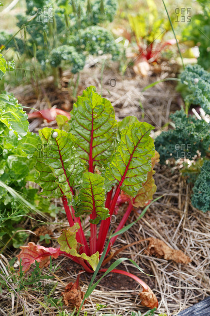 Young Rhubarb plant growing in garden