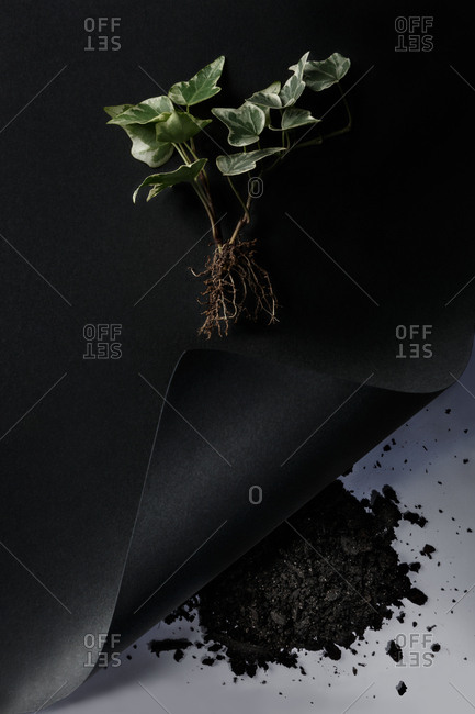 Overhead view of leaves and roots of a plant on black background and heap of earth on white background