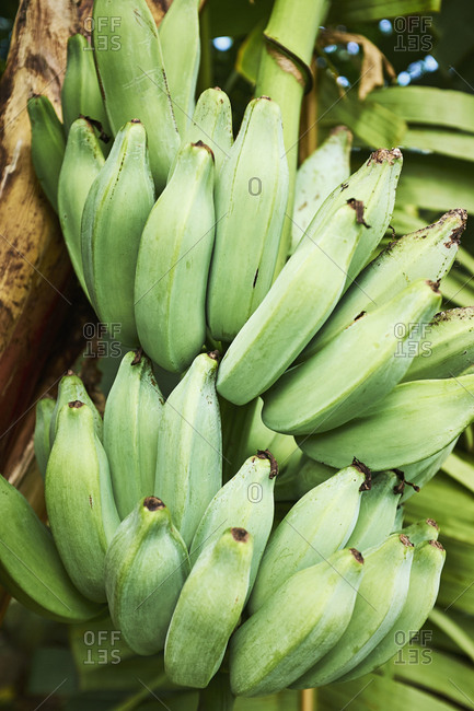 Bunches of green bananas growing on tree