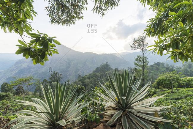 Tea plantation in Ella, Sri Lanka