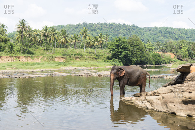 Elephant in the water at the Pinnawala Elephant Sanctuary, Sri Lanka