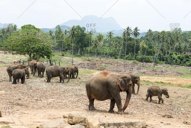 Herd of elephants at the Pinnawala Elephant Sanctuary, Sri Lanka