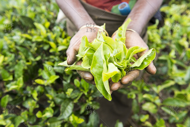 Tea Picker holding a handful of tea leaves, Nuwara Eliya, Sri Lanka