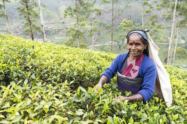 Nuwara Eliya, Sri Lanka - October 8, 2012: Tea Picker in the field in Nuwara Eliya, Sri Lanka