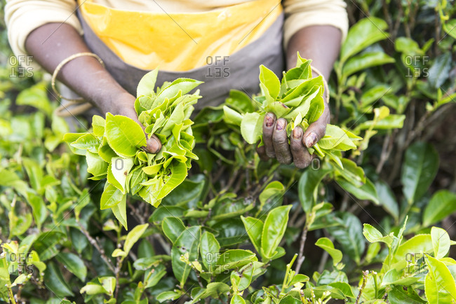 Tea Picker holding tea leaves, Nuwara Eliya, Sri Lanka