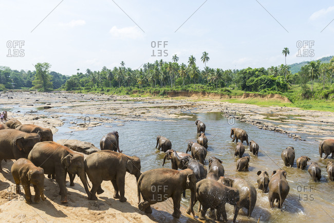 Heard of elephants in the water at the Pinnawala Elephant Sanctuary, Sri Lanka