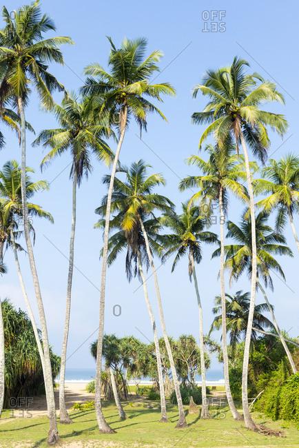 Palm trees on Bentota Beach, Sri Lanka