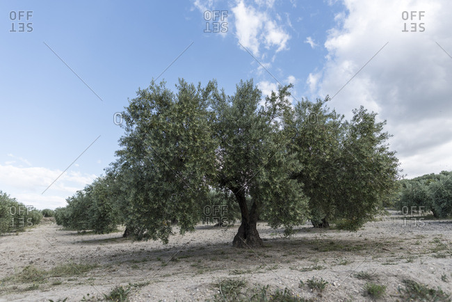Plantation of olive trees during spring in Jaen, Spain