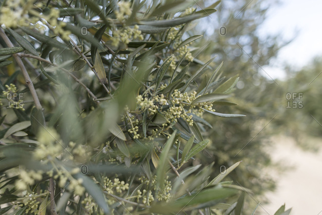 Detail of flowers with pollen on an olive tree in Jaen, Spain