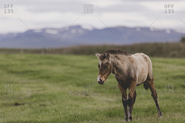 Brown and cream Icelandic pony standing in grassy field with mountains in background