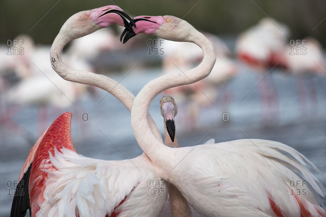 Close up of a pair of Flamingos interacting