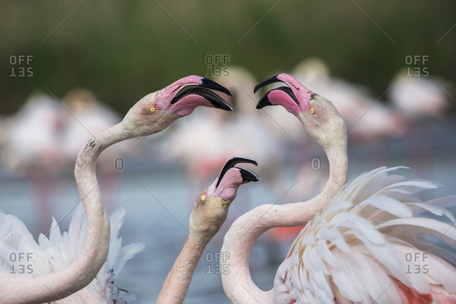 Close up of three flamingos putting on a display