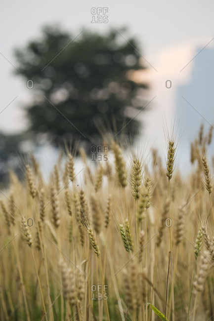 Yellow barley in the evening glow