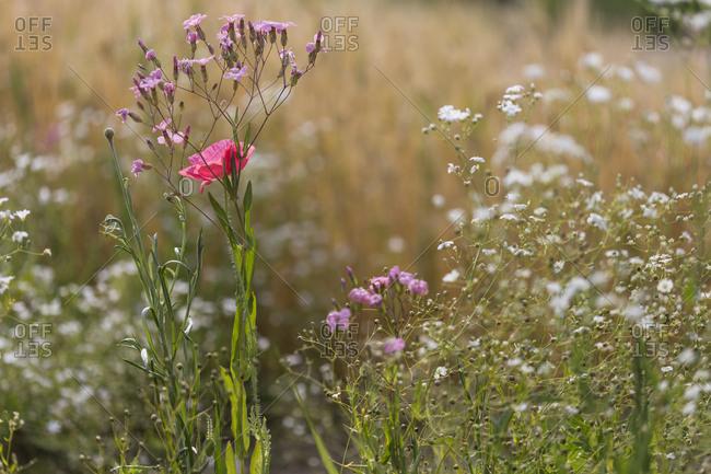 Poppy flower in a field of wildflowers