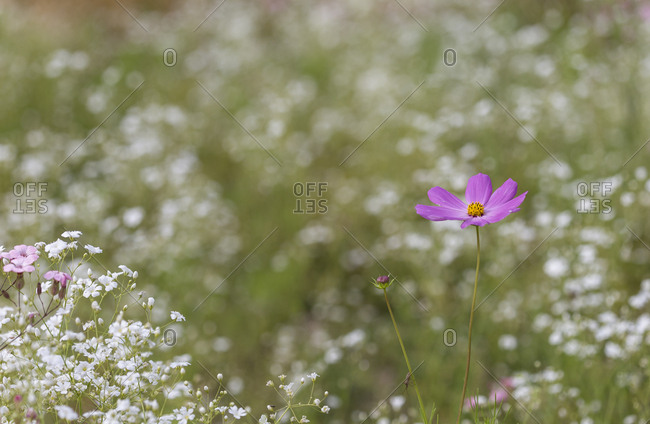 Pink cosmos and white flowers