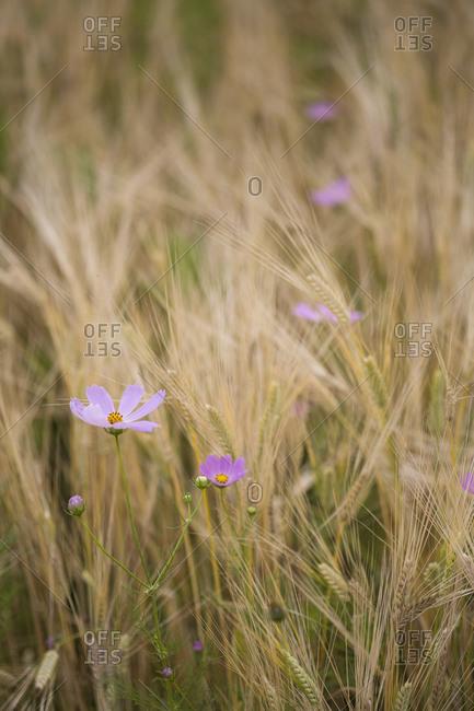 Cosmos grow between yellow barley