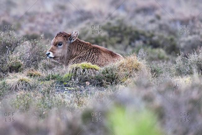 Sayaguesa calf lying down between heather.