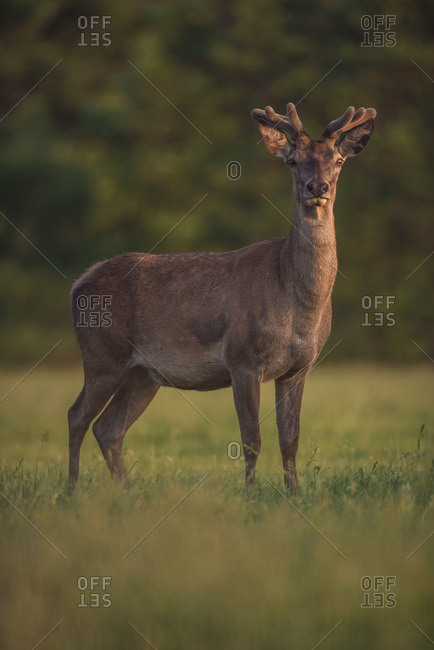 Red deer stag with velvet antler in evening sun.