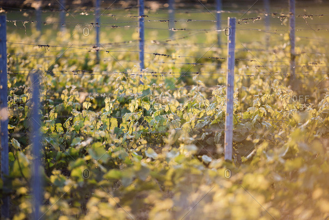 Leaves of vineyard in backlight of evening sun during spring.
