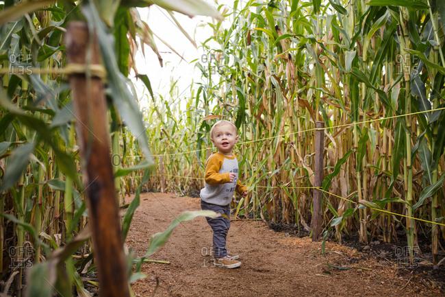 Toddler walking through corn maze