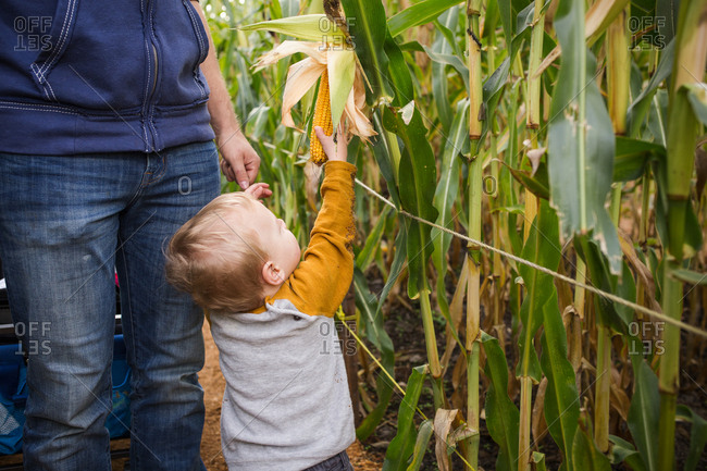 Toddler reaching for corn cob in a corn maze