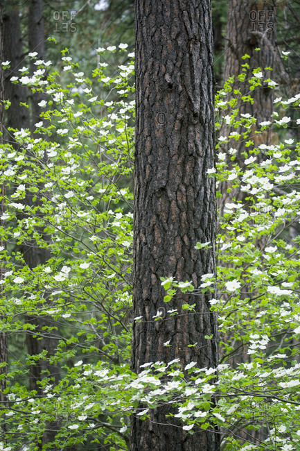 Close-up of pine tree with dogwood trees blossoming around its trunk
