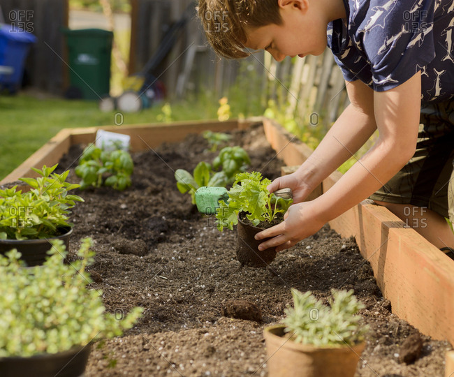Boy planting plants in raised-bed gardening at backyard