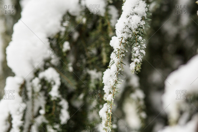 Close up of snow clinging to branches of pine tree in winter
