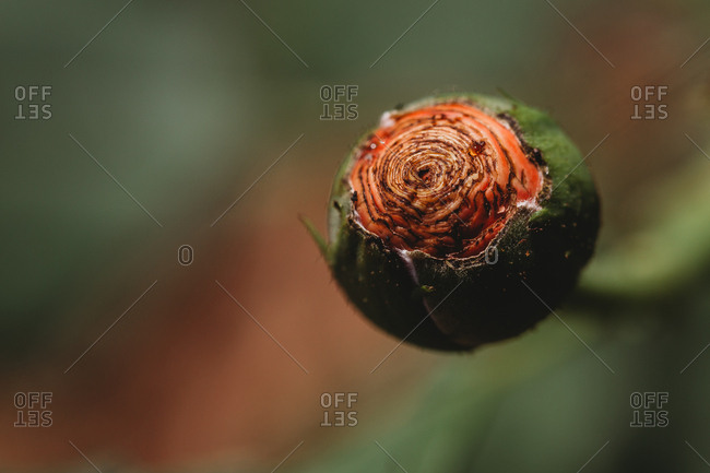 Macro image of rose bud showing all the layers of petals waiting to bloom