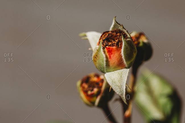 Macro image of rose bud just beginning to unfold and bloom