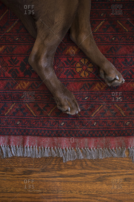 Chocolate lab's feet on a red rug