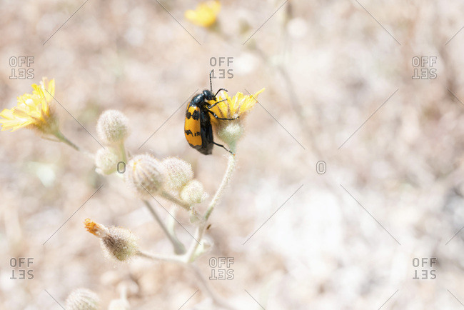 Small beetle on a flower blossom
