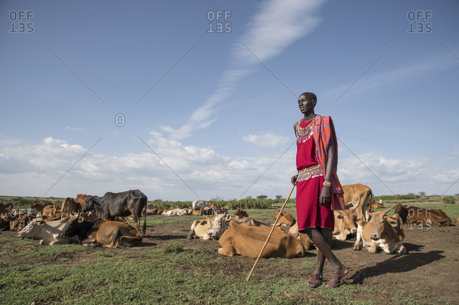 Maasai villager with his herd of cattle at Maasai Mara in Kenya