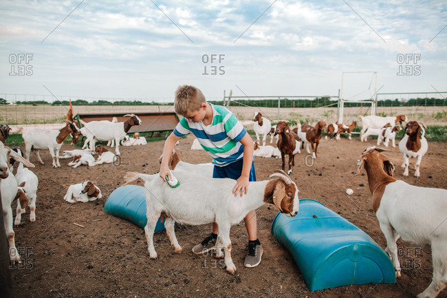 A boy brushing his pet goats