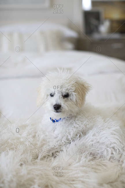 Furry white dog lying on the bed