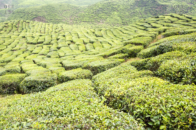 Sunny hillside in Cameron Highlands in Malaysia