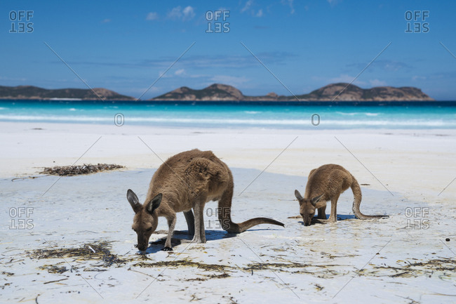 Kangaroos foraging along the white sand beach at Cape Le Grand National Park in Western Australia