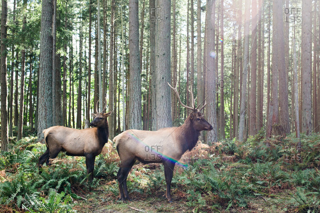 Two elk in the forest with sun flare