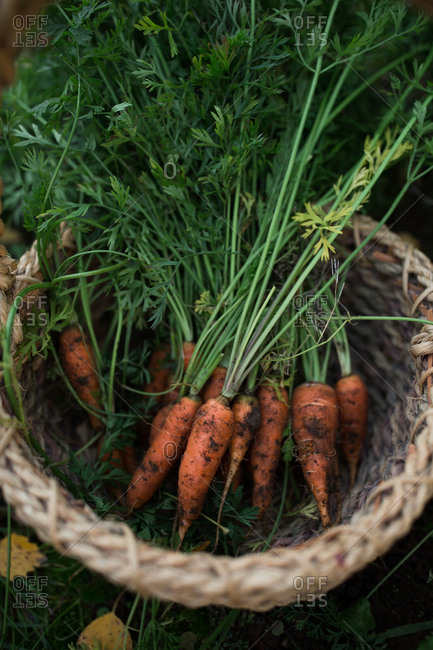 Bunch of fresh picked carrots in a basket