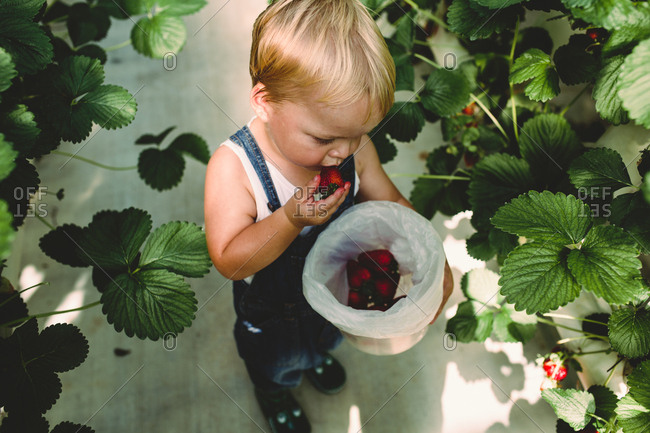 Overhead view of small boy eating strawberries