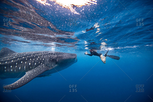 Underwater view of female snorkeler photographing whale shark, Quintana Roo, Mexico