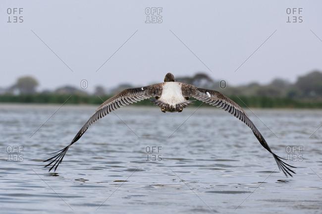 Great white pelican (Pelecanus onocrotalus), Lake Jipe, Tsavo, Coast, Kenya