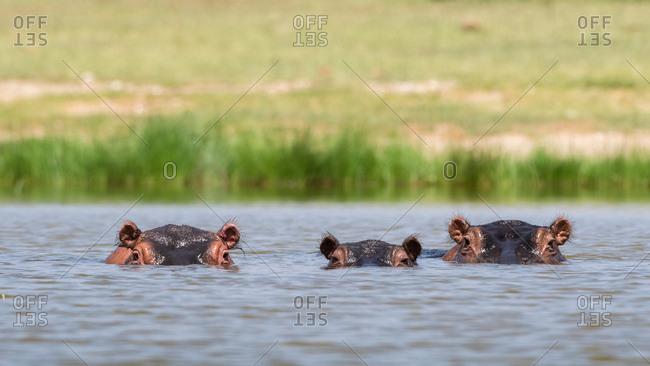 Hippopotamuses (Hippopotamus amphibious), Lake Jipe, Tsavo, Coast, Kenya