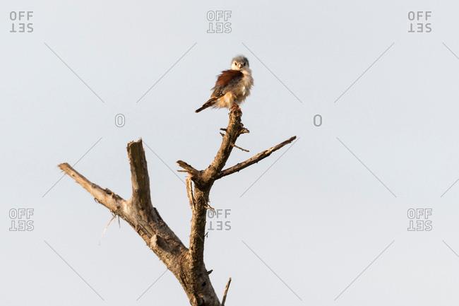 Pigmy falcon (Poliohierax semitorquatus), Tsavo, Coast, Kenya