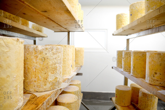 Shelves with large wheels of stilton cheese maturing
