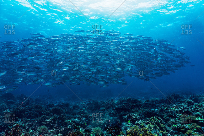 Underwater view of school of jack fish (Caranx lugubris) at the Tubbataha Reefs Natural Park, Cagayancillo, Palawan, Philippines