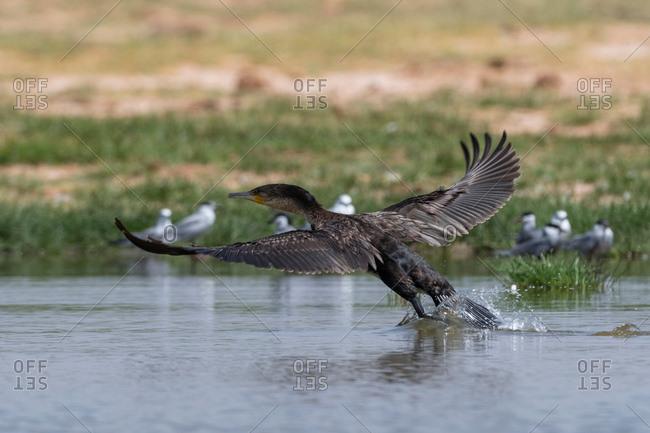 White-necked cormorant (Phalocrocorax carbo), Lake Jipe, Tsavo, Coast, Kenya