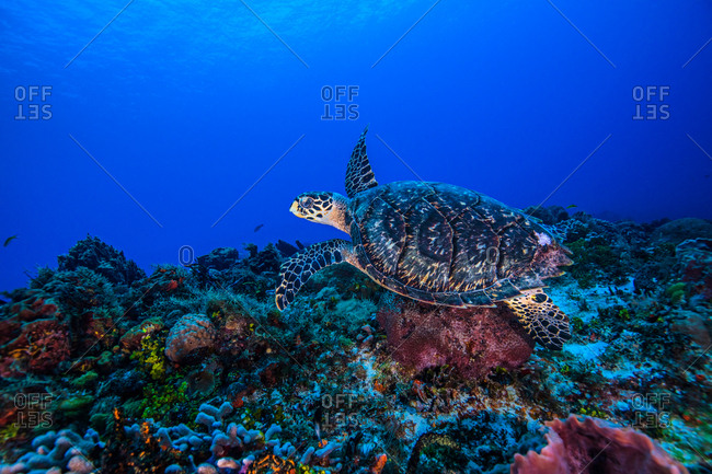 Underwater view of hawksbill turtle swimming over seabed