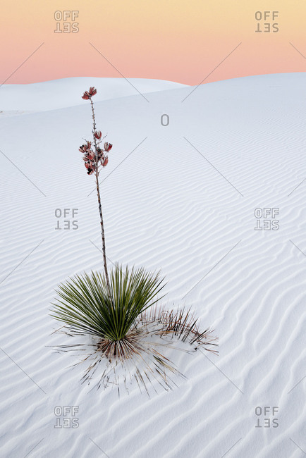 Yucca plant in White Sands desert at sunset